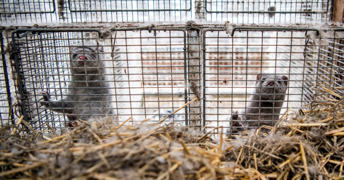 Nearly 10000 minks die after Covid-19 outbreak at Utah fur farms – NBC News
