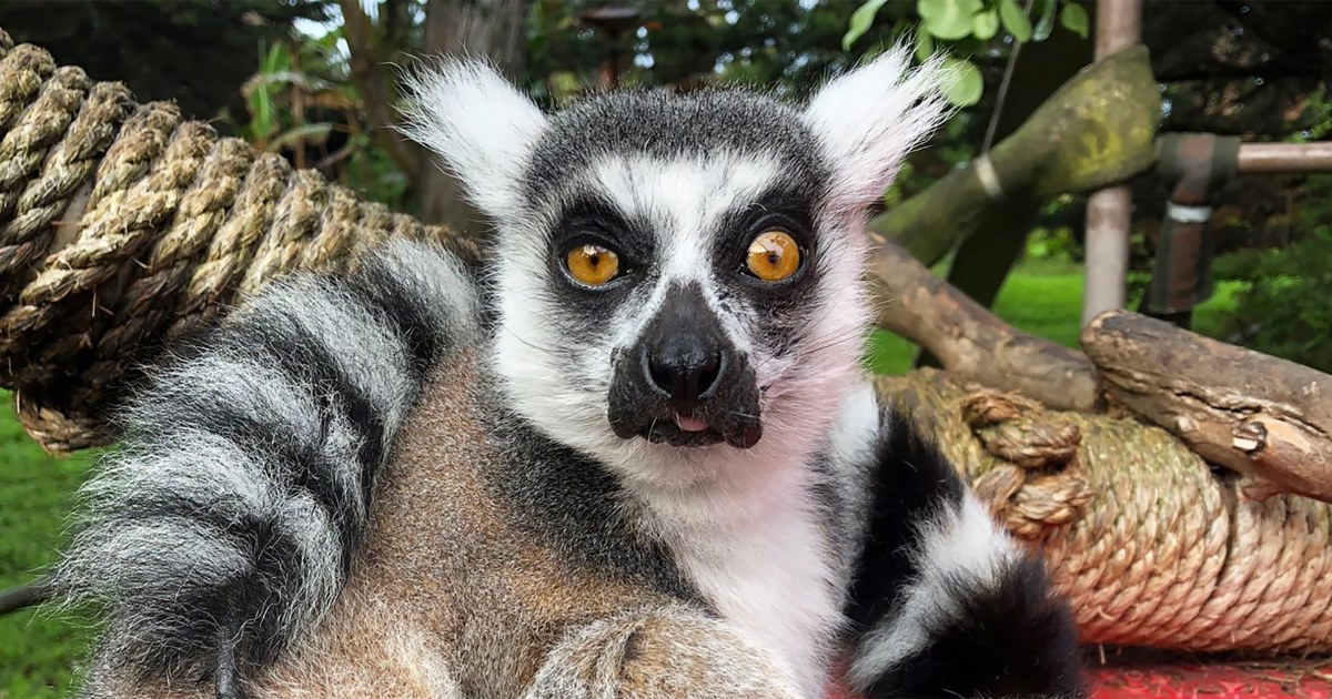 21-year-old ring-tailed lemur stolen from San Francisco Zoo