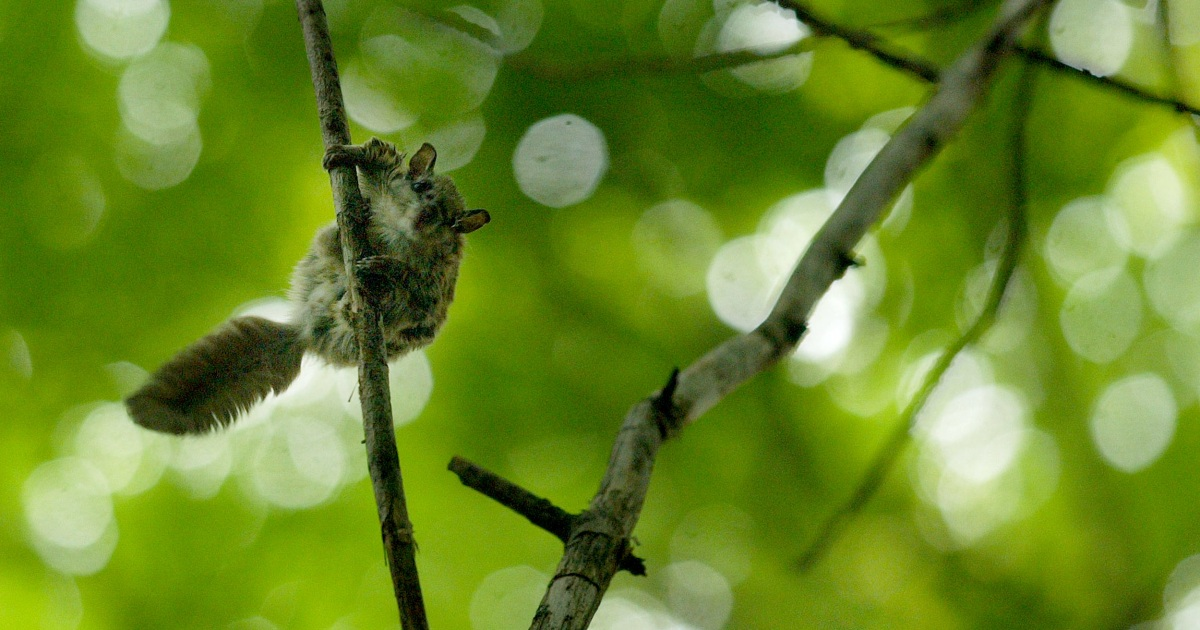 Thousands of flying squirrels captured in Florida trafficked with estimated $1M worth officials say – NBC News