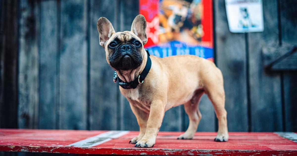 French bulldog named Wilbur elected mayor of Rabbit Hash, Kentucky
