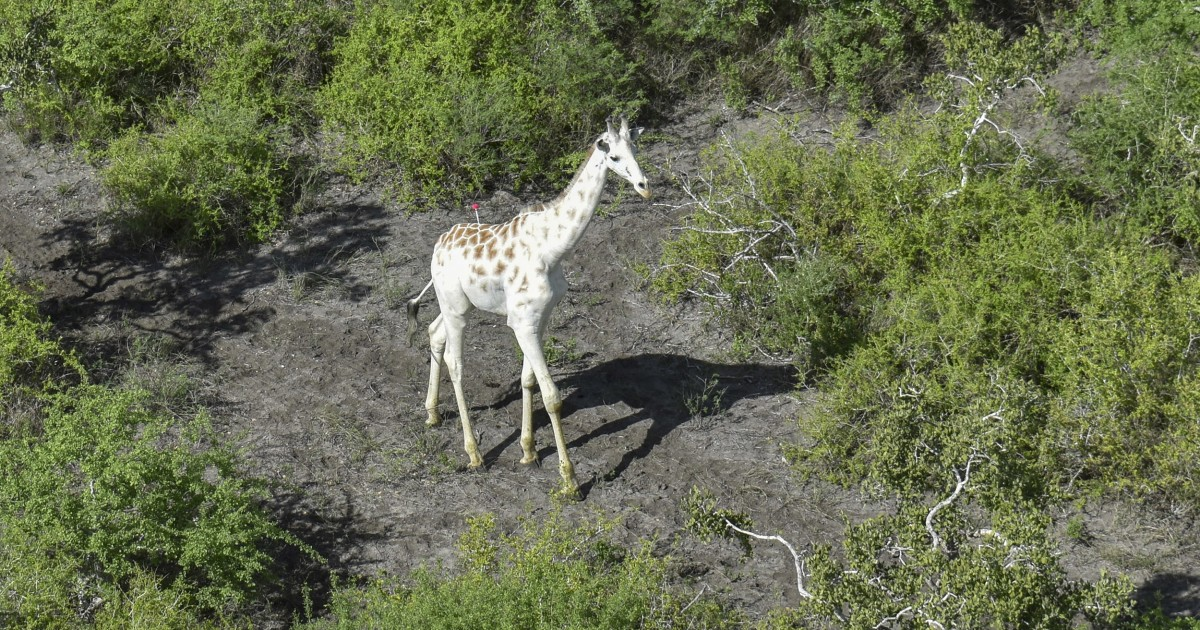 Extremely rare white giraffe gets tracker after poachers killed its family