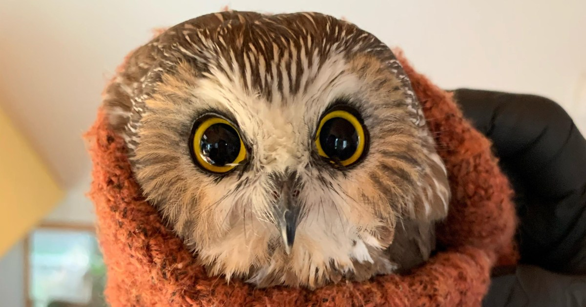 Tiny owl rescued from Rockefeller Center Christmas tree that traveled 170 miles to NYC