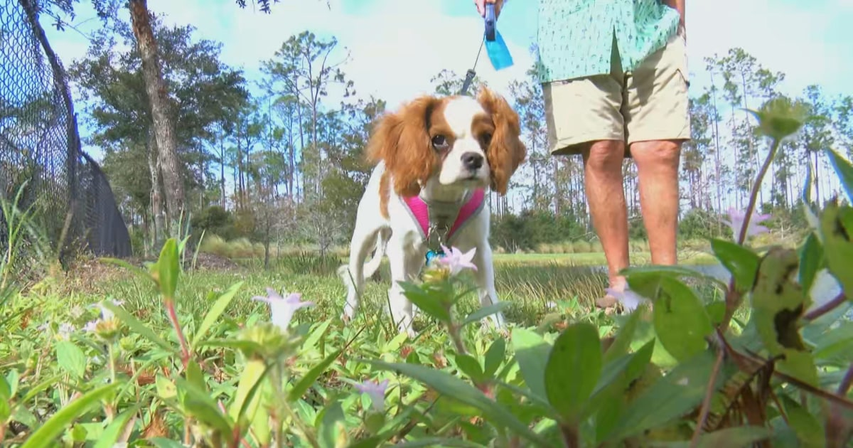 Florida man saves his puppy dragged into pond by alligator