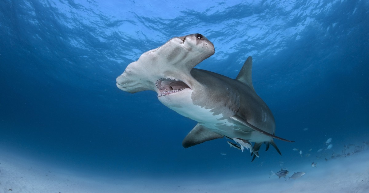 More than 300 shark, ray species threatened with extinction, new report finds