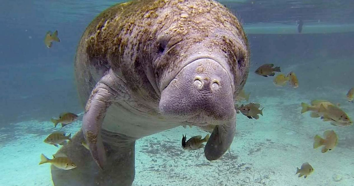 Florida manatee has 'TRUMP' etched into its side; officials seek information – NBC News
