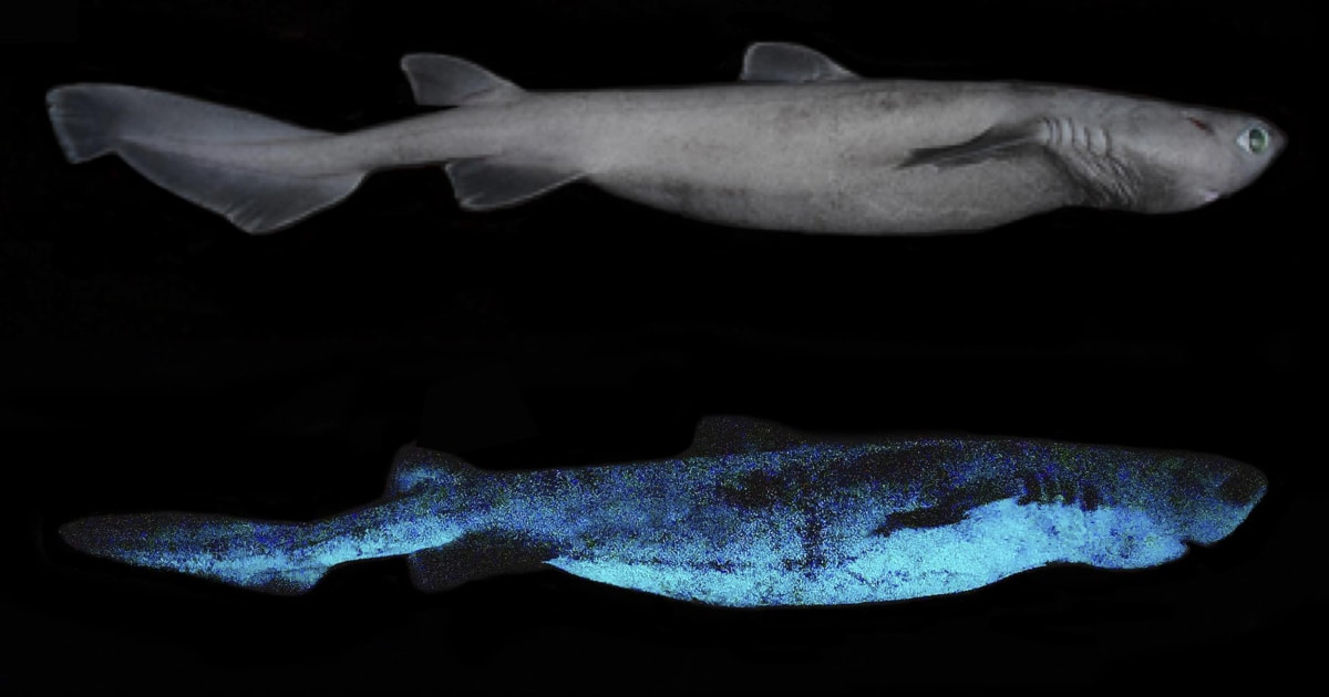Sharks that glow in the dark? Scientists discover luminous deep-sea predators off New Zealand