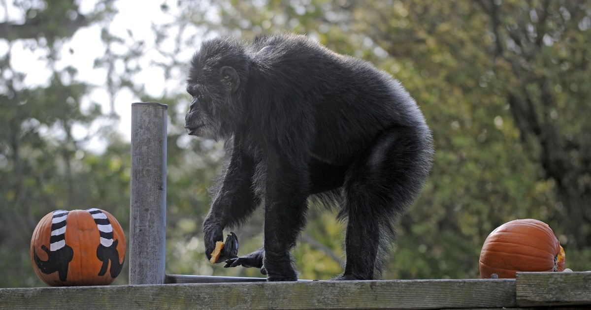 Cobby oldest male chimp in a U.S. zoo dies at 63 – NBC News