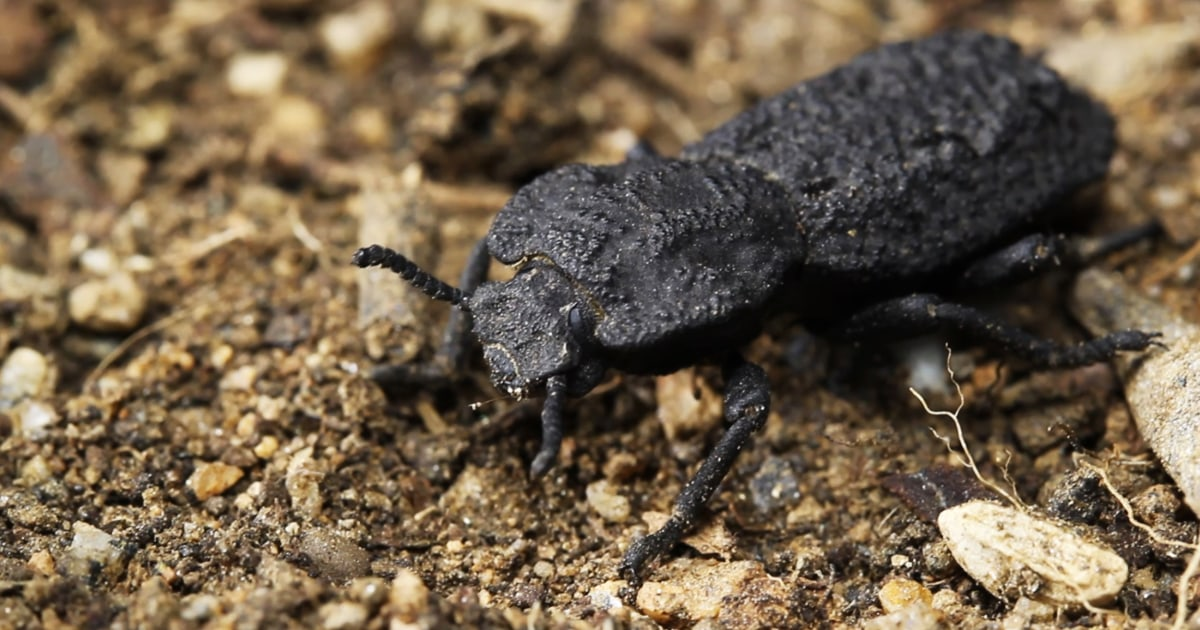 How to build stronger materials? A 'diabolical' beetle offers clues