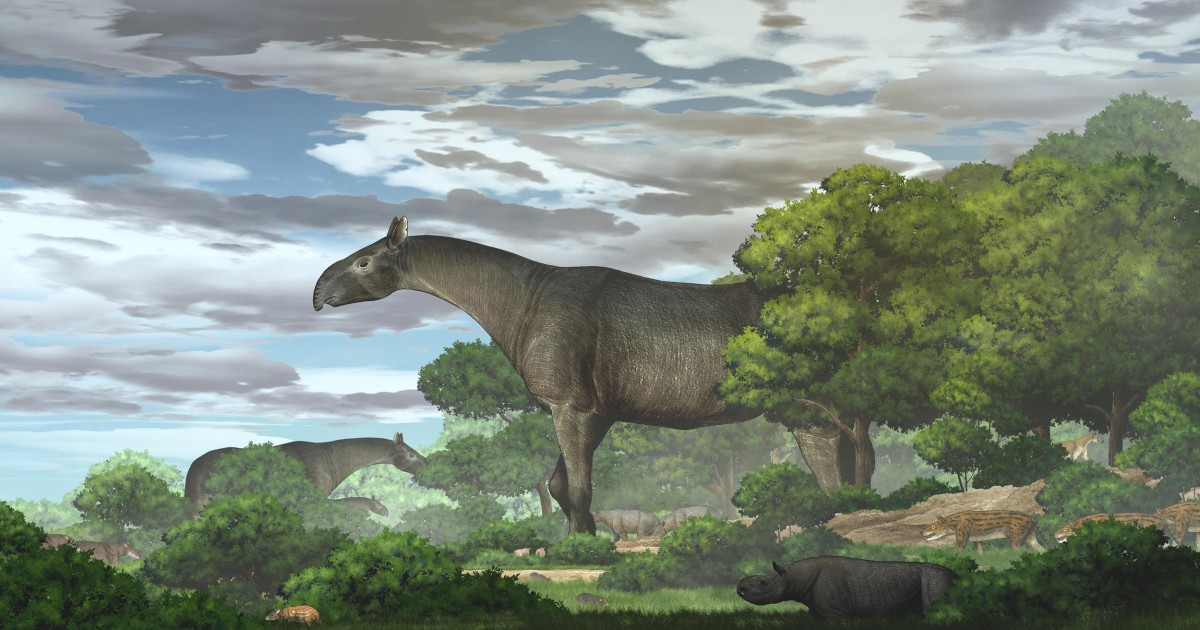 New fossils of giant rhinos — the largest land mammals ever — are found in China