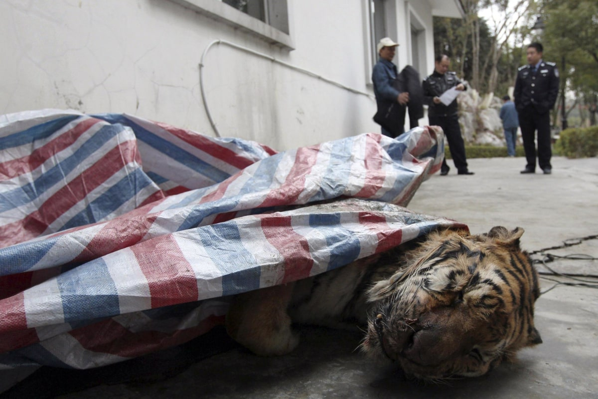 Image: A dead tiger is found during a police action in Wenzhou