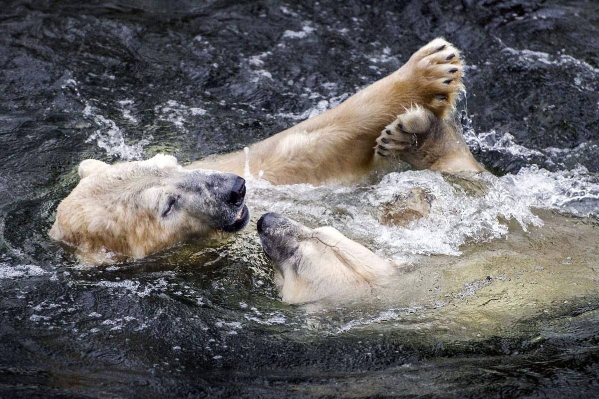 Polar Bears Diet Polar Bears Switch Diets to