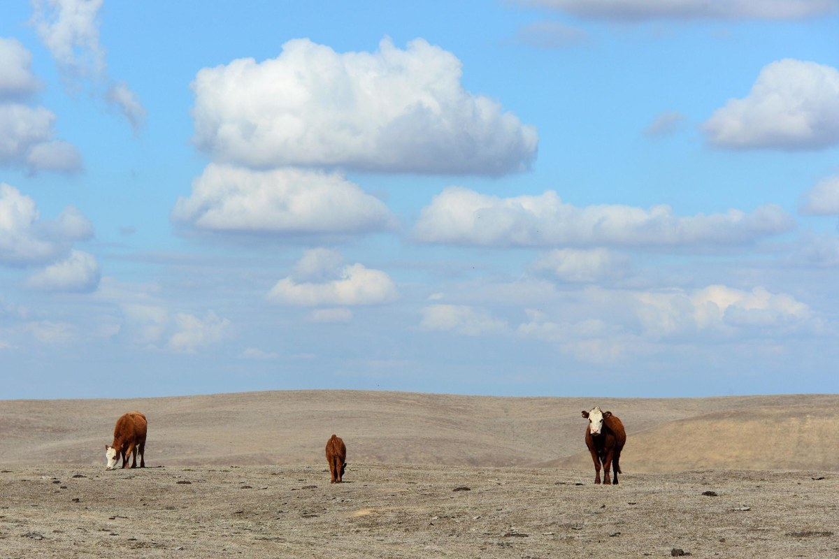 Image: Hereford cattle roam the dirt-brown fields of Nathan Carver's ranch