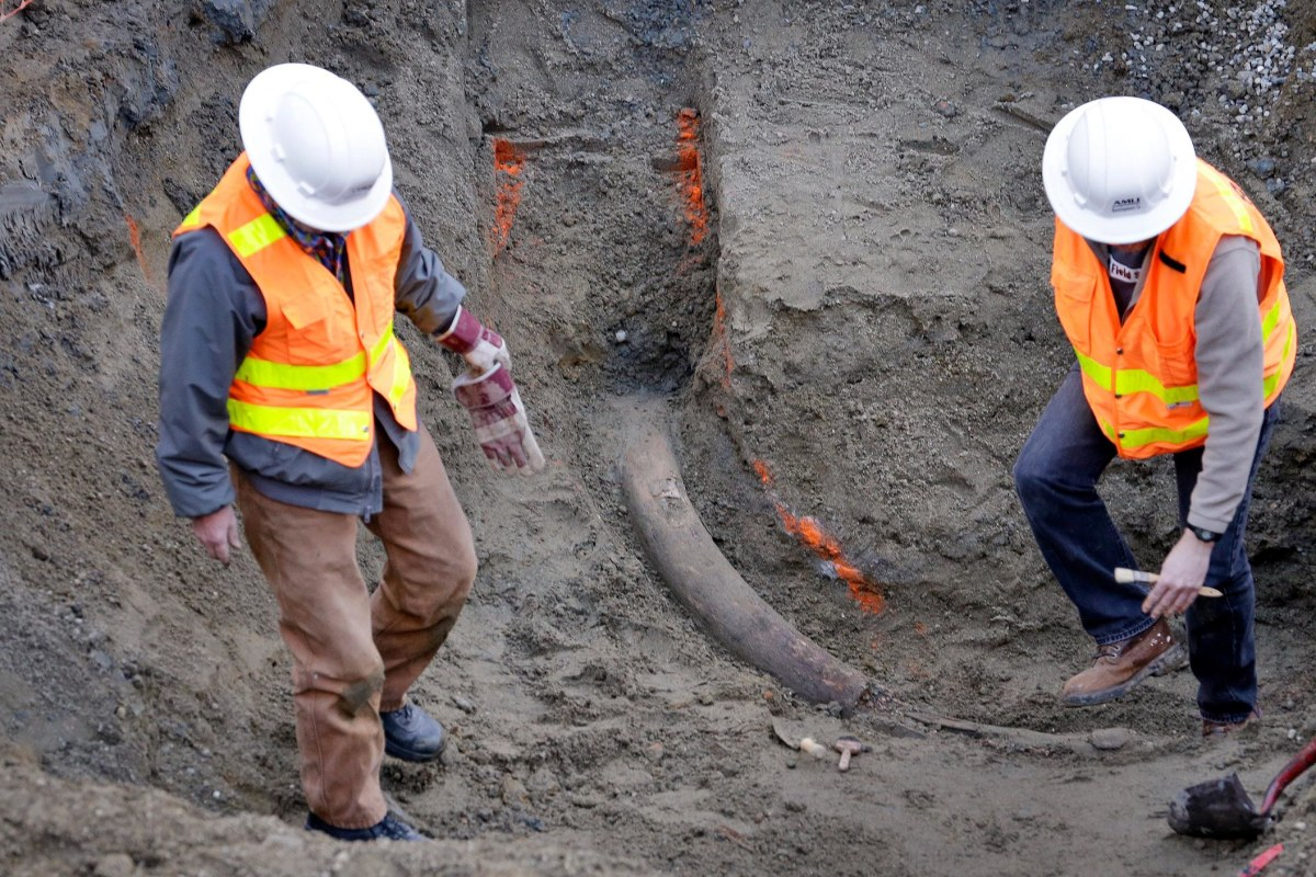 Image: Researchers from the University of Washington's Burke Museum step around a fossilized mammoth tusk