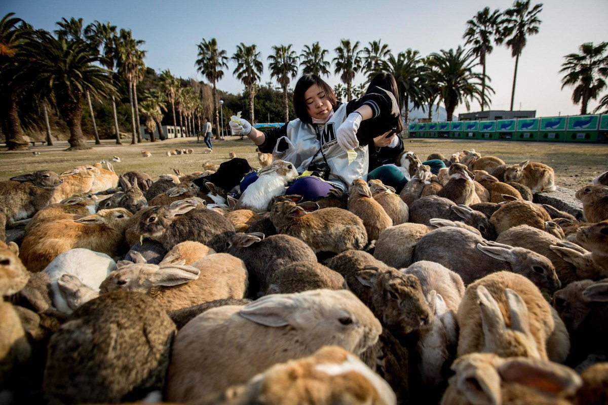 Image: Bunnies Attract Tourists To A Japanese Islet Okunoshima