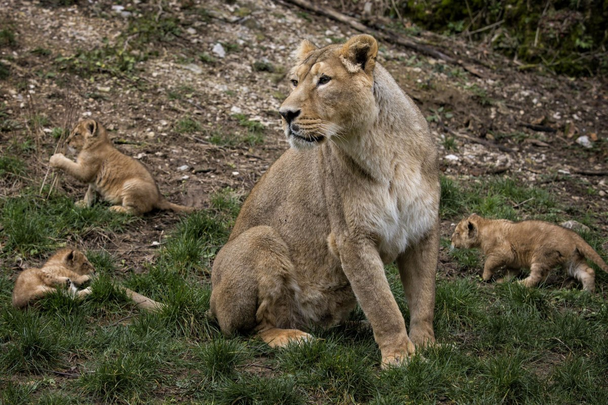 Image: An Asiatic lion named Shiva, the mother of the three cubs, looks out over her domain in the Besancon zoo