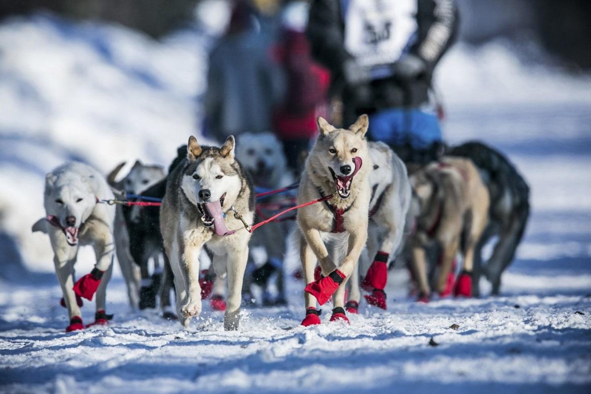 Alaska's Iditarod Sled Dog Race Stymied by Lack of Snow ...