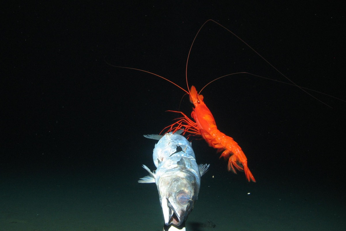 Image: Large prawn feeds on bait