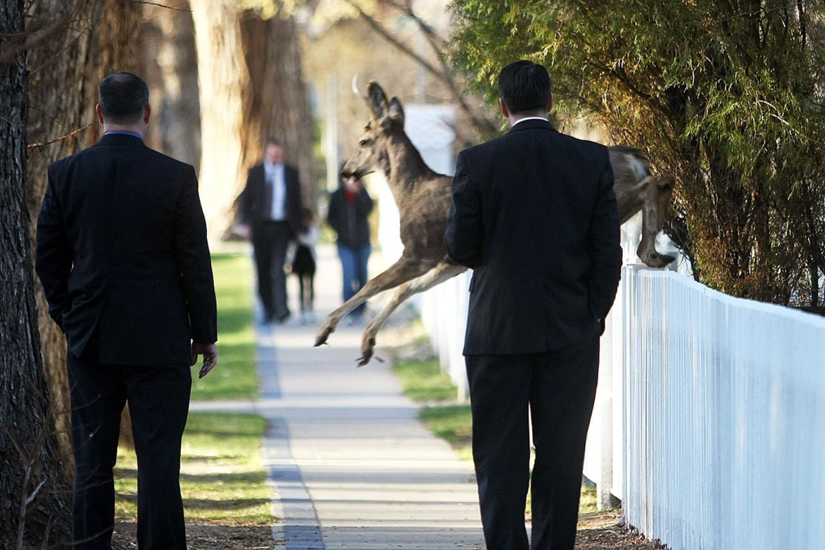 Image: A deer jumps in front of Nevada Gov. Brian Sandoval, right, while he walks to work