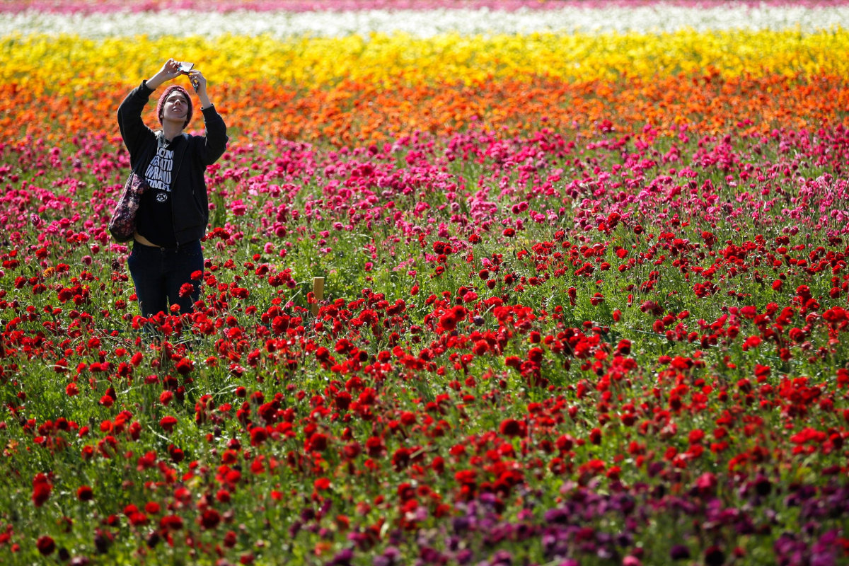 Image: Emily Herren takes a picture with her phone as she visits the Flower Fields