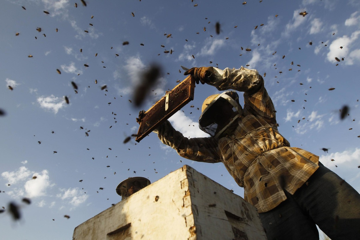 Beekeeper Ibrahem Shurab inspects a rack of honey-bees on Wednesday at his farm in Khan Yunis, located in the southern Gaza Strip near the Israeli border