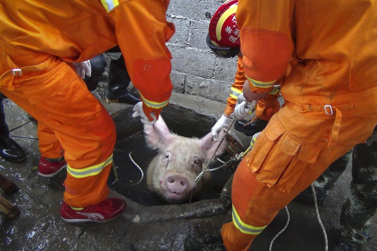 Image: Firefighters pull a pig as they try to rescue it from a well at a pig farm in Zhejiang province