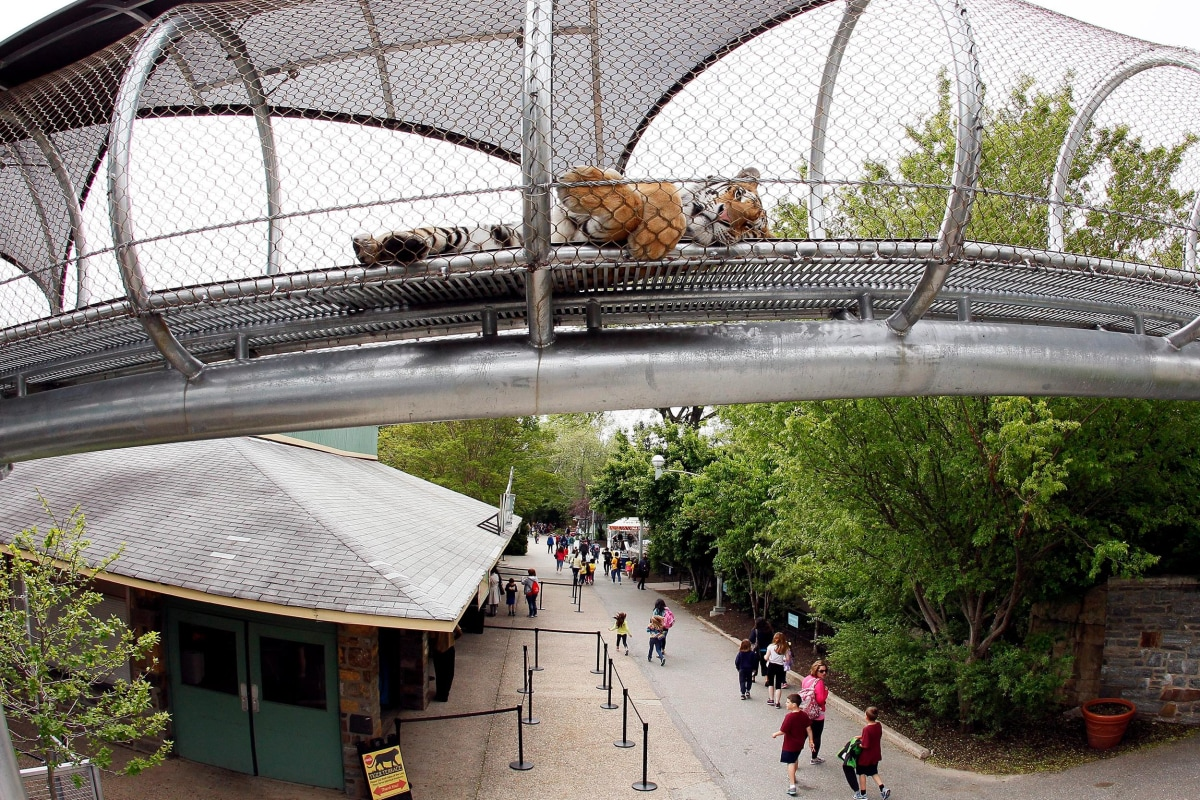 Image: An Amur Tiger lies down to relax in the Big Cat Crossing, a mesh-engineered passageway that crosses over the main visitor path inside the Philadelphia Zoo in Philadelphia, Pennsylvania.