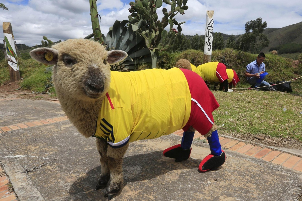 Image: A sheep dressed in a jersey in the colours of the Colombian national soccer team is seen during a exhibition, prior to the 2014 World Cup in Brazil, in Nobsa