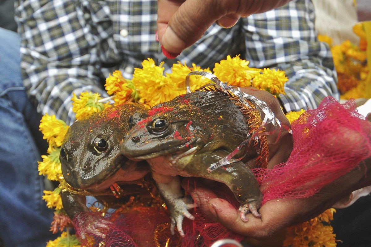 Image: People hold frogs as they solemnise a frog marriage in the central Indian city of Nagpur