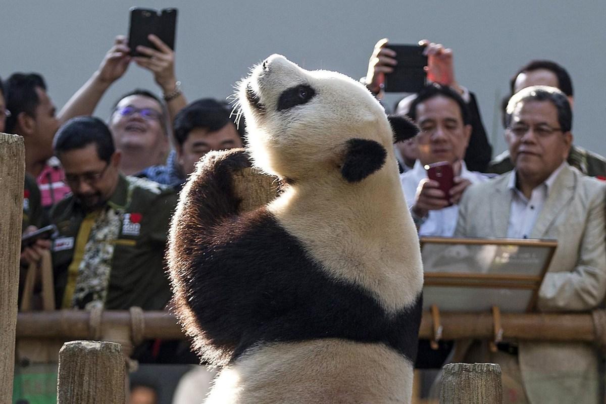 Image: China's panda in Malaysia