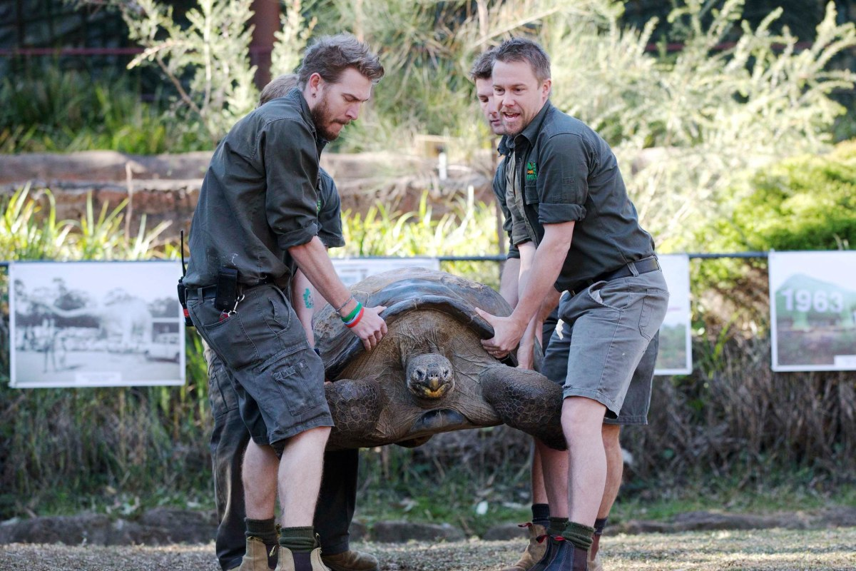 Image: Hugo, a 63-year-old Galapagos Tortoise, is lifted by keepers at the Australian Reptile Park at Somersby near Sydney