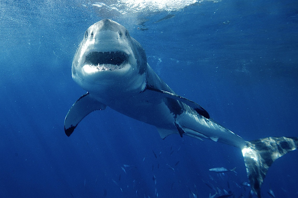 reality bites why sharks aren t always to blame for attacks nbc reality bites why sharks aren t always to blame for attacks nbc news