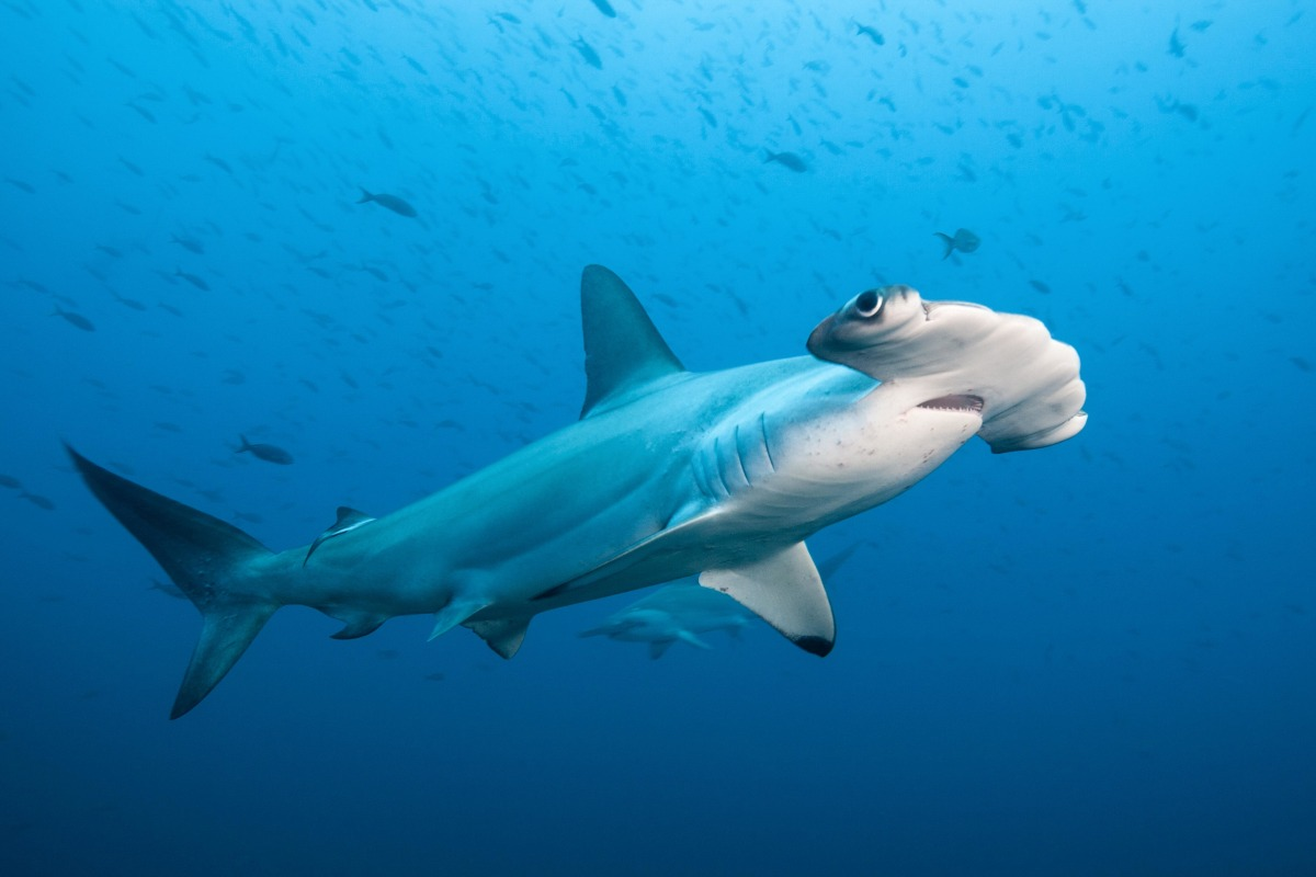 'Lost Sharks' Fade Away While Great Whites Grab the ...