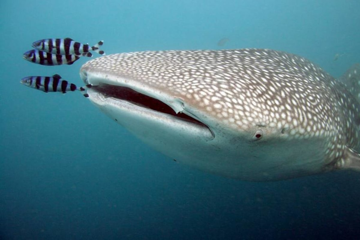 largest whale shark - photo #29