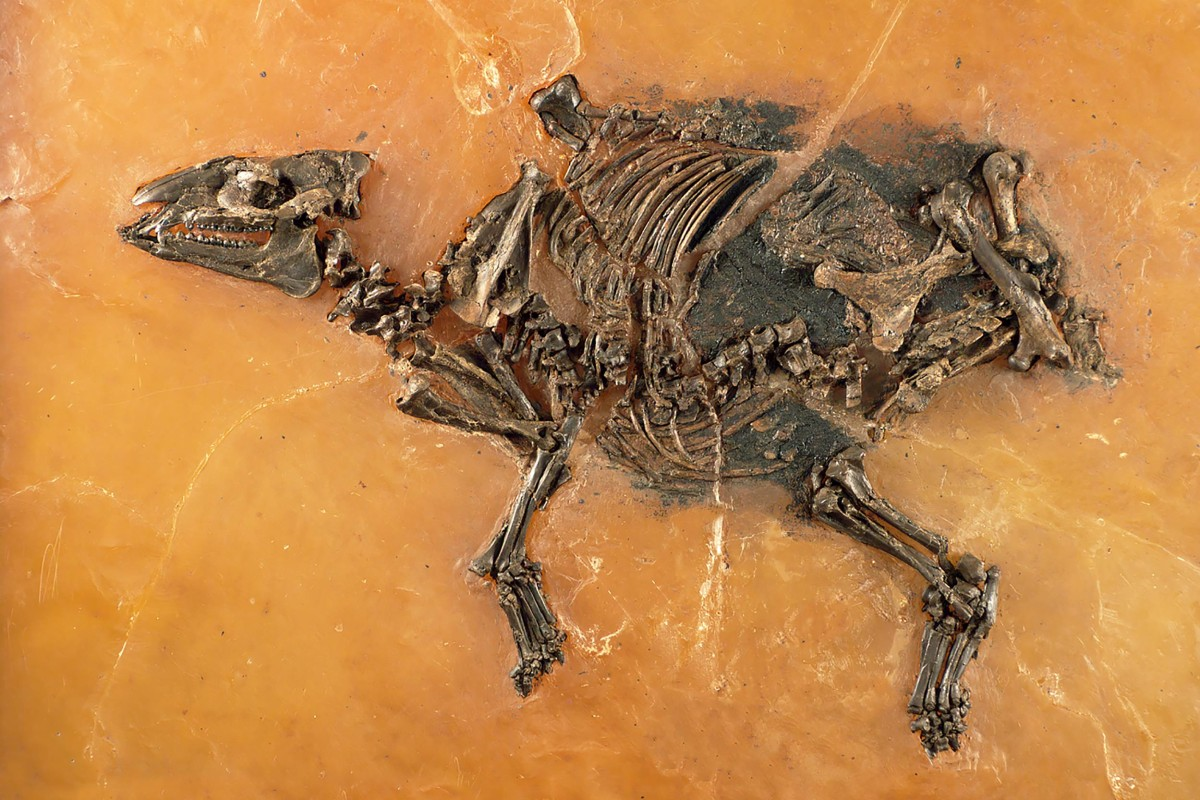 Paleontologists in Frankfurt presented a 47-million year old fossil of a horse and its unborn foal from the Eocene Epoch.