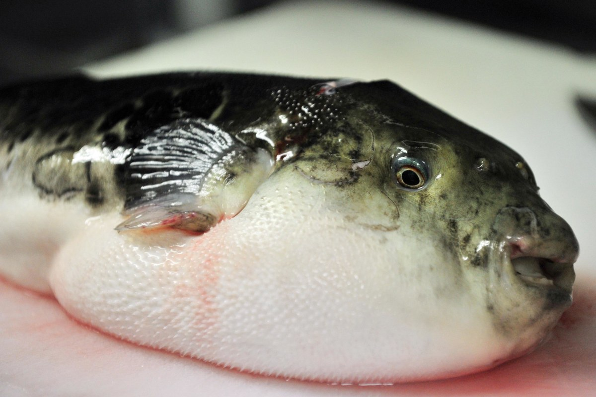 Frightful fish tale doctors warn of poison pufferfish for Blowfish vs puffer fish