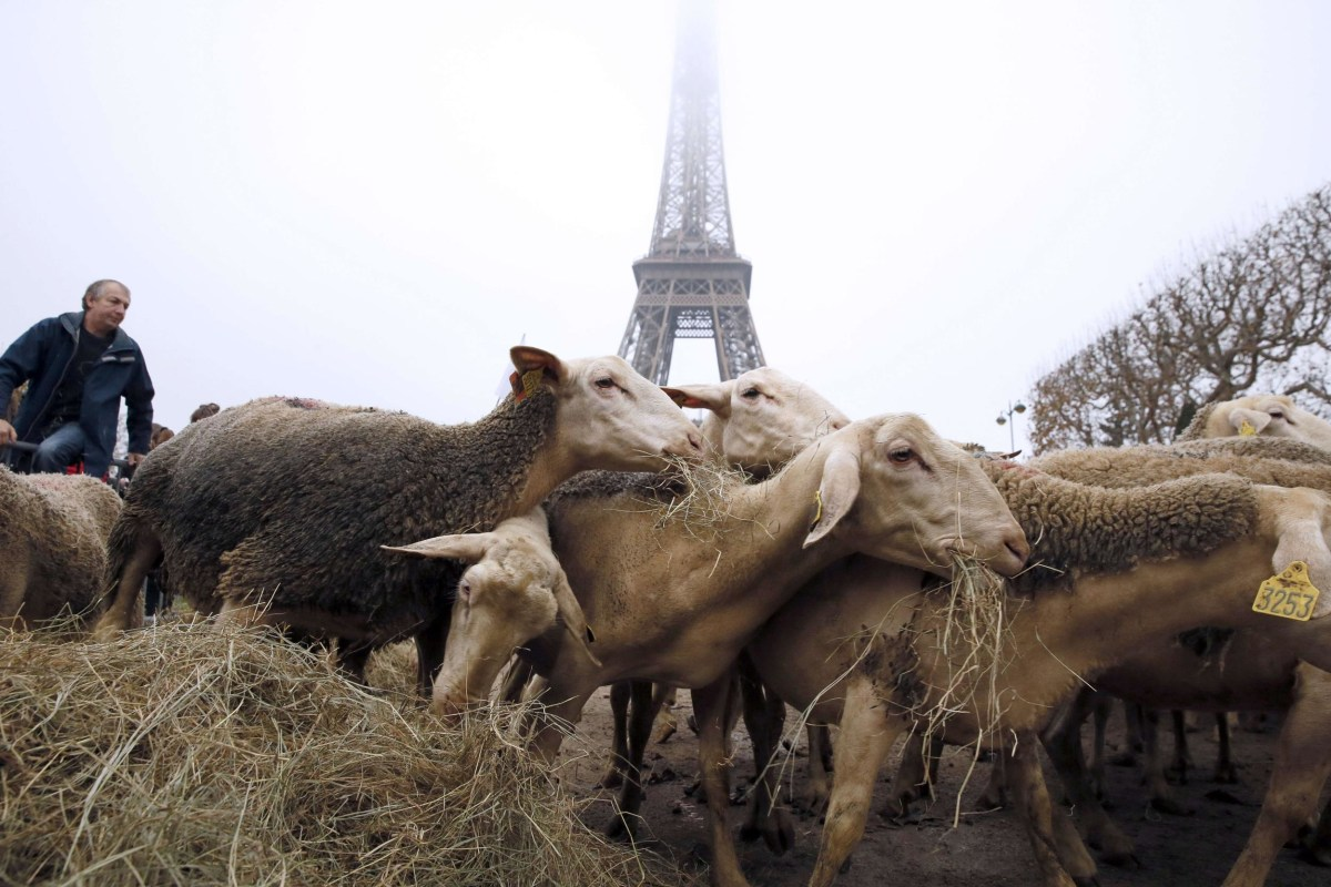 Image: Sheep graze at the Champ de Mars near the Eiffel Tower