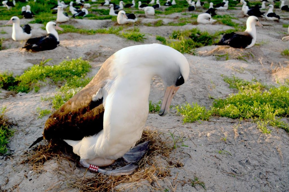 Image: Wisdom the Laysan albatross