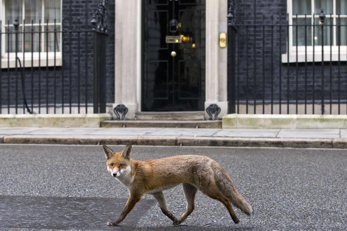 Image: A fox runs past the door of 10 Downing Street on Jan. 13.