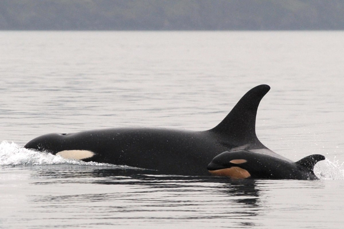 orcas asian single women In a new study, orca pregnancy failures are up, salmon stocks are down, and fecal samples are in—thanks in part to a black lab on dung duty.