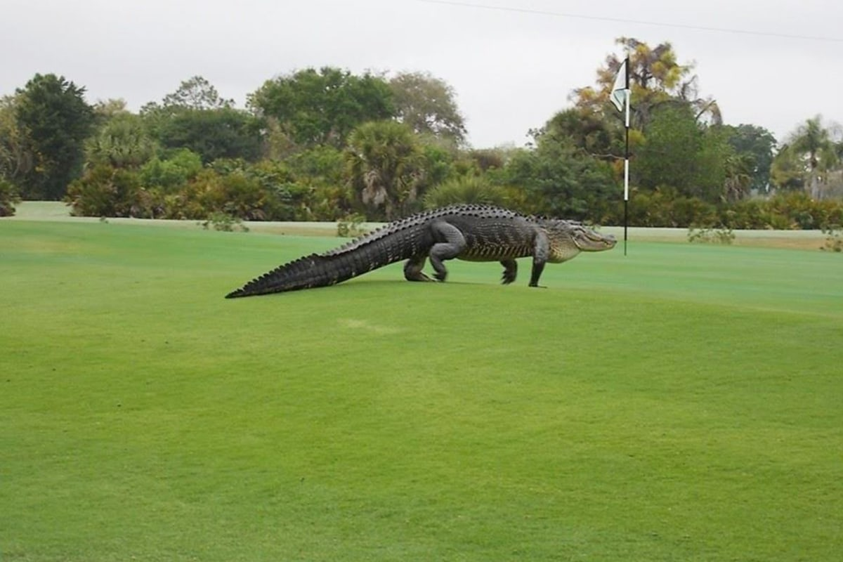 Fore! Giant Alligator Goes for Stroll on Florida Golf ...