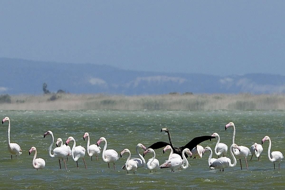 Image: A rare black flamingo is seen in sharp contrast among other flamingos