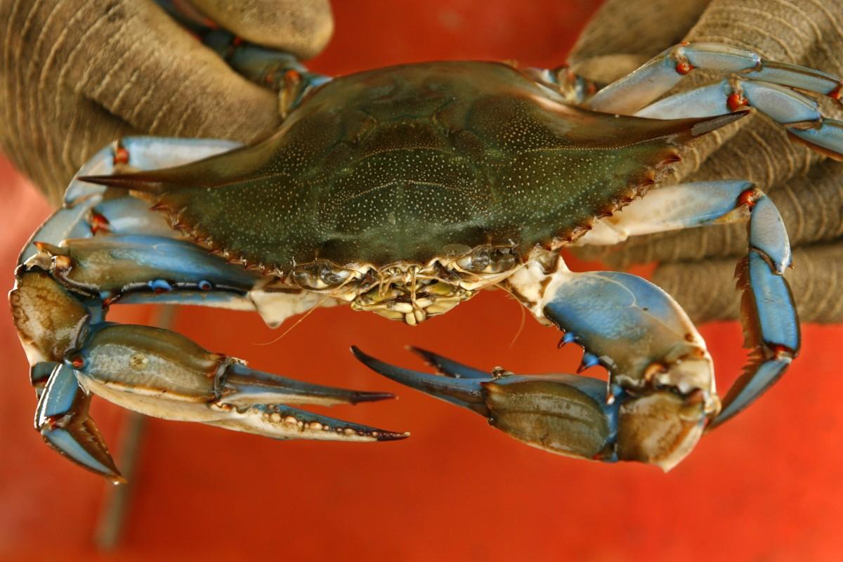 Chesapeake bay s blue crab