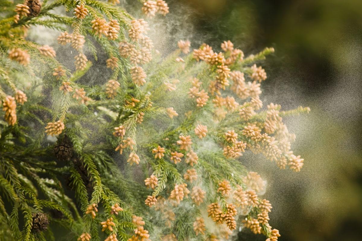 B pollen