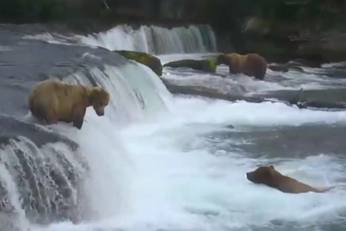 Live cam lets you watch alaska bears hunt for fish in real for Best time to fish in alaska