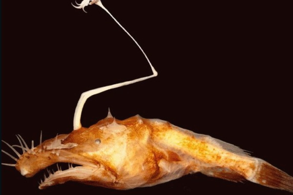 Wolf Trap Anglerfish New Species of Anglerfish