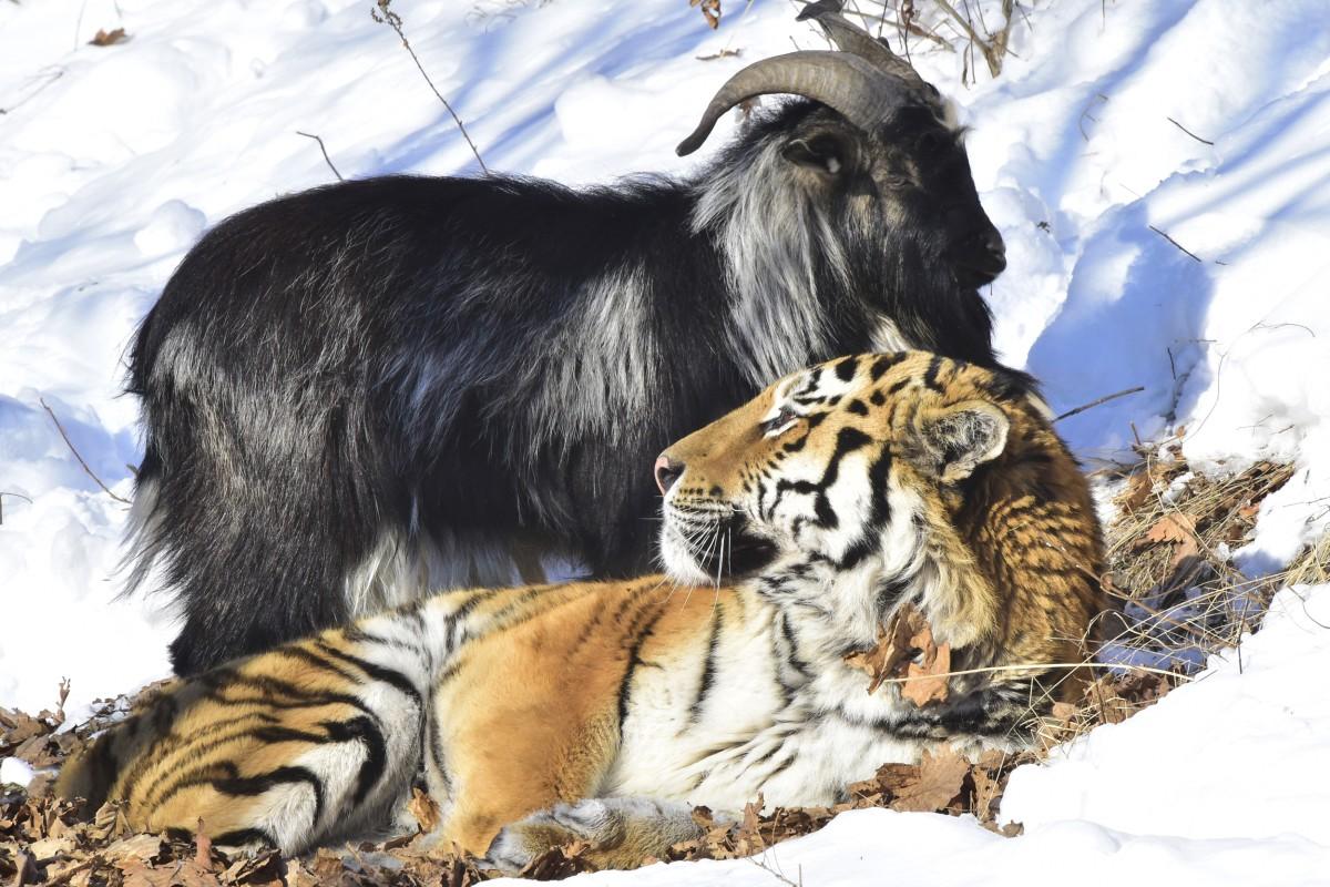 Amur the Siberian Tige...