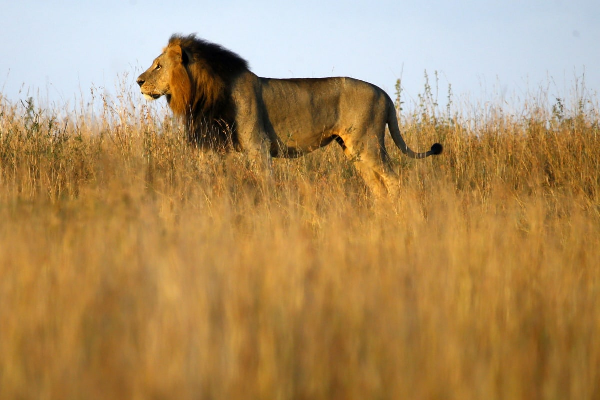 Lions Escape Kenya s Nairobi National Park  Roam Residential Area