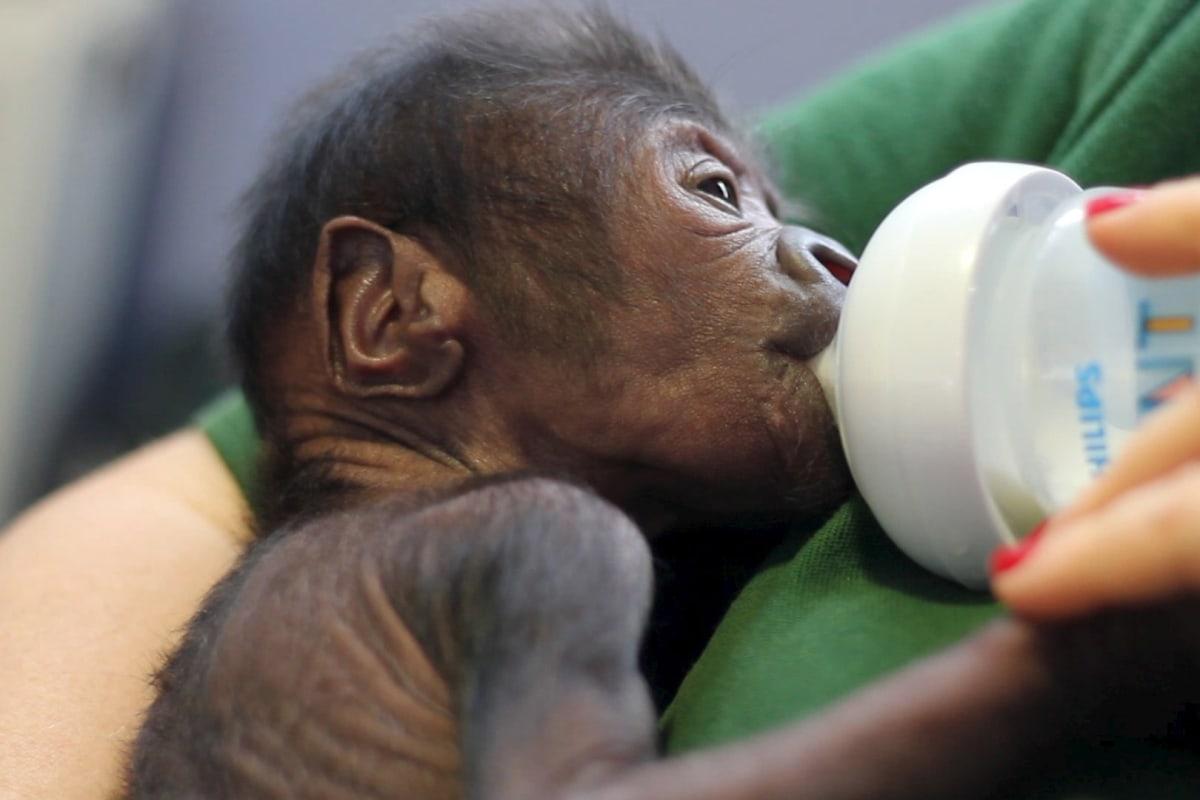 Image: Gorilla Feeding Caesarean