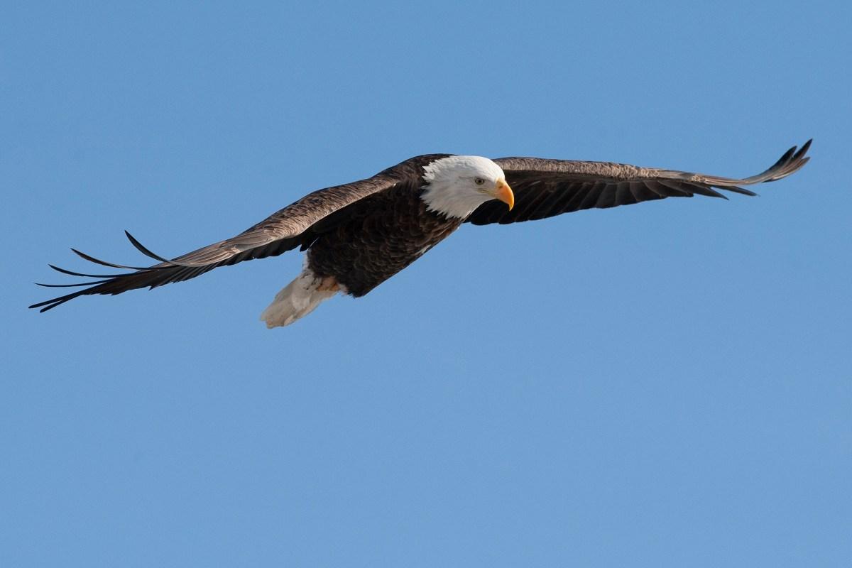 raptor riddle deaths of eagles in delaware maryland