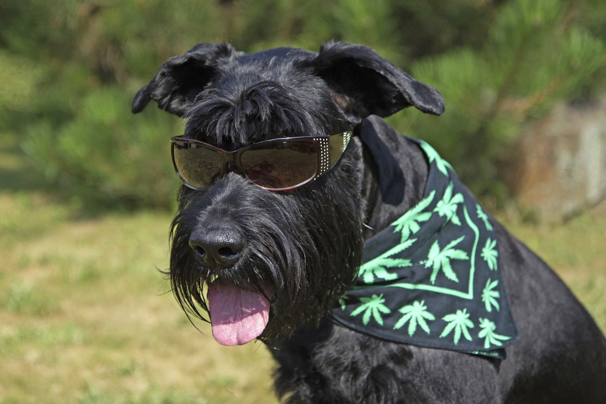 Vetpoem likewise Canine Physiotherapy likewise My Pets in addition Marijuana Dog Jsw A Fa Bed F F Fcbfa Ac A A Nbcnews Fp in addition Funny Scared Animals Vet Little Dog. on pets vets
